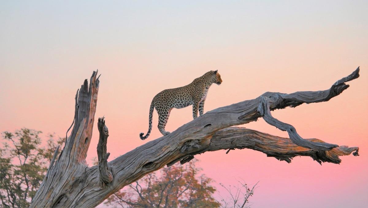 Leopard im Sonnenuntergang / Foto von Alexander Mirschel