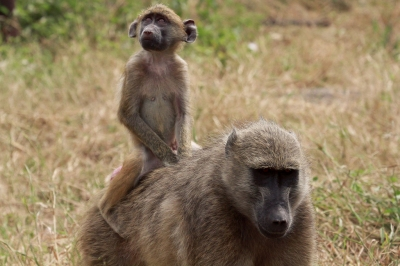 A Mother & Baby Baboon (Grant Peters)  CC BY