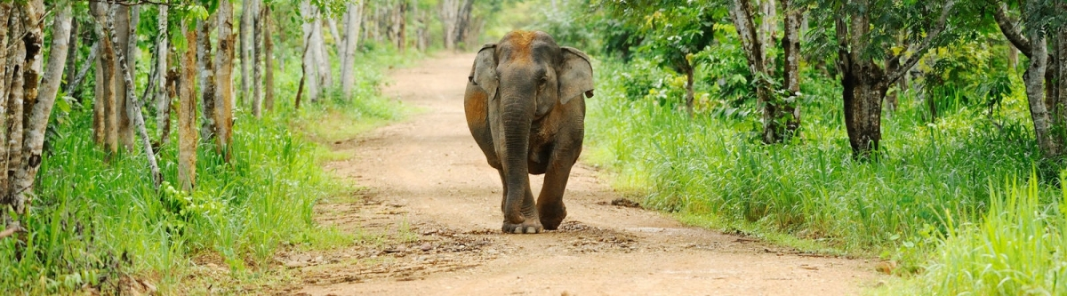 Elephant in Kui Buri national park (tontantravel)  CC BY-SA