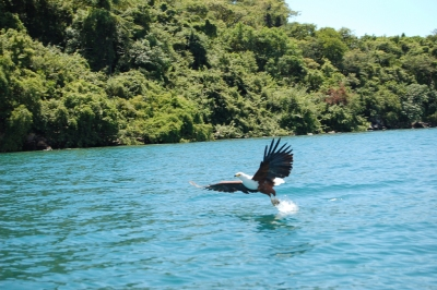 Fish Eagle, Lake Malawi (Joachim Huber)  CC BY-SA