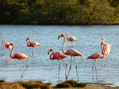 Flamengos at the mangroves (Bonaire 2014) (Paul Arps)  [flickr.com]  CC BY  Infos zur Lizenz unter 'Bildquellennachweis'