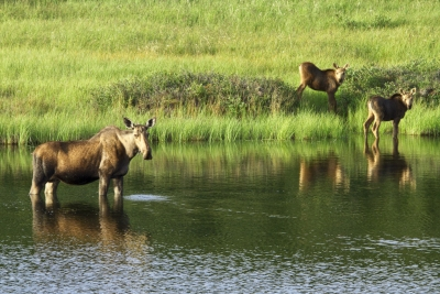 Moose Cow and Calves (Denali National Park and Preserve)  CC BY