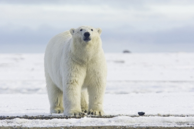 Polar Bear Pose (Anita Ritenour)  CC BY
