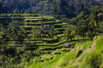 Rice paddies at Ceking (kayugee)  CC BY-ND